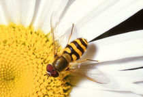 Syrphus ribesii hoverfly on Shasta daisy by Mark Lucock