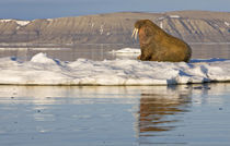 Walrus (Odobenus rosmarus) on sea ice near Kapp Lee in midnight sun von Danita Delimont