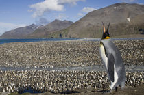 King Penguins (Aptenodytes patagonicus) along shoreline at massive rookery along Saint Andrews Bay by Danita Delimont