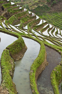 Flooded rice terraces von Danita Delimont