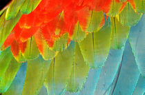 Wing feathers of a blue and red macaw by Danita Delimont