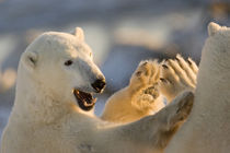 Sparring polar bears give a high five von Danita Delimont