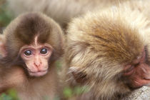 Snow Monkey Mother and Baby (Macaca fuscata) von Danita Delimont