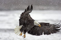 Bald eagle flies in snowstorm von Danita Delimont