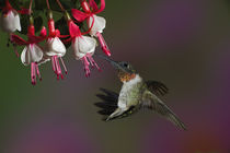 Male Ruby-throated Hummingbird in flight by Danita Delimont