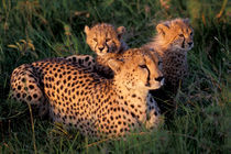 Cheetah and Cubs (Acinonyx jubatus) by Danita Delimont