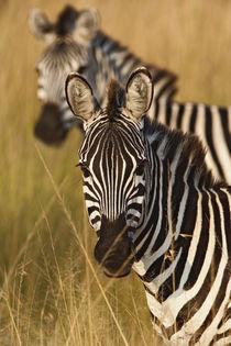 Equus burchellii by Danita Delimont