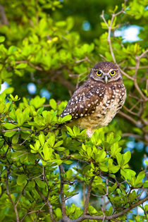 Habitat loss due to human development are taking away essential areas for these owls von Danita Delimont