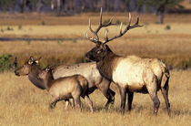 Bull elk with mother and calf in meadow by Danita Delimont