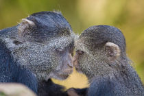 Blue Monkey mother with young at Manyara NP by Danita Delimont
