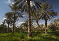 Date palm oasis von Danita Delimont