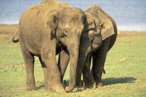 Asian elephant herd von Danita Delimont