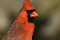 Northern Cardinal close up portrait von Danita Delimont