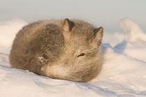 Rests in the snow along the arctic coast by Danita Delimont