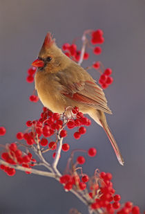 Cardinalis by Danita Delimont
