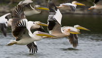 White Pelicans in flight at Lake Naivasha by Danita Delimont