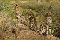 Cheetahs at Samburu NP by Danita Delimont