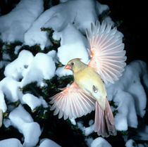 Female Cardinal bathing by Danita Delimont