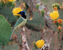South Texas Green Jay - Perisoreus canadensis by Danita Delimont