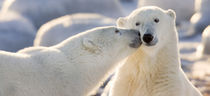 Polar bear kiss by Danita Delimont