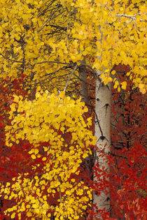 Aspen trees with golden leaves von Danita Delimont
