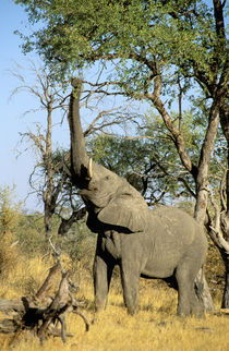 African Elephant (Loxodonta africana) by Danita Delimont