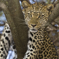 Leopard in tree at Serengeti NP von Danita Delimont