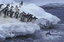 Antarctic Peninsula Adelie Penguins by Danita Delimont