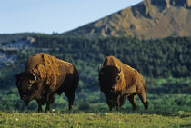 Bison bulls at Waterton Lakes National Park in Alberta Canada by Danita Delimont