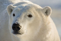 Portrait of polar bear by Danita Delimont