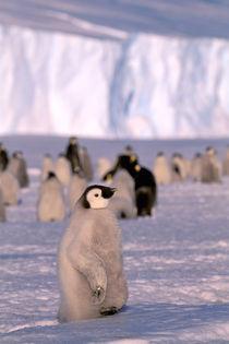 Emperor Penguin chicks (Aptenodytes forsteri) von Danita Delimont