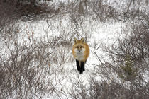 Red Fox in Churchill Manitoba Canada by Danita Delimont