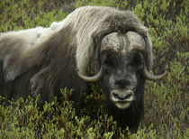 Close-up of musk ox standing in bushes by Danita Delimont