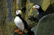 Horned puffins on the cliffs at Zapadni sea bird colony by Danita Delimont