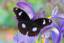 Sammamish Washington Tropical Butterflies photograph of Asian Hypolimnas bolina the Great Eggfly Butterfly with eyespots on wings von Danita Delimont