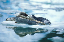 Mother and pup harbor seals by Danita Delimont
