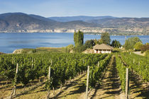 NA; Canada; British Columbia; Okanagan Valley; Naramata; Vineyard on Lake Okanagan by Danita Delimont