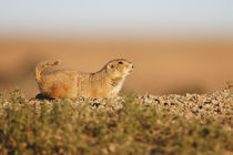 Black-tailed Prairie Dog (Cynomys ludovicianus) at a burrow in a prairie dog town by Danita Delimont