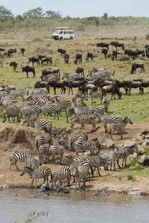 Mara River wildebeest and common zebra crossing von Danita Delimont