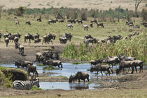 Wildebees at water hole von Danita Delimont