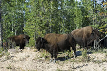 Wood Buffalo National Park von Danita Delimont