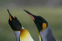 King penguins in courtship display by Danita Delimont