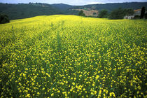 Beautiful yellow flower covered fields of San Gimignano in Tuscany Italy by Danita Delimont