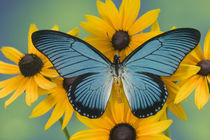 Papilio zalmoxis the Giant Blue Butterfly from Ghana Africa on Rubekia yellow Flowers by Danita Delimont
