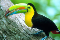 Borro Colorado Island Keel billed toucan (Ramphastos sulfurtus) with a cicada in its bill von Danita Delimont