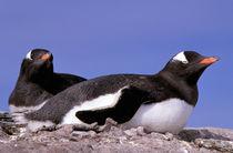 Gentoo Penguins (Pygoscelis papua) von Danita Delimont