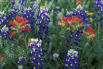 Bluebonnets and Paintbrush in bloom by Danita Delimont