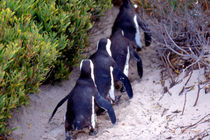 Jackass Penguins (Phalacrocorax capensis) von Danita Delimont