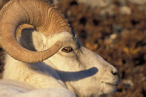 Dall sheep (Ovis dalli) portrait by Danita Delimont