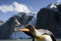 King Penguin (Aptenodytes patagonicus) and glacier in mountains above Gold Harbour von Danita Delimont